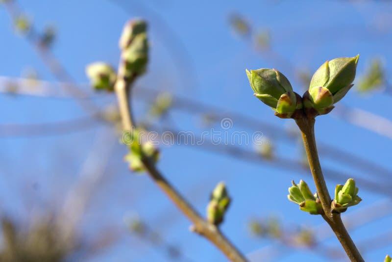 Fogli verdi freschi della sorgente fotografie stock libere da diritti