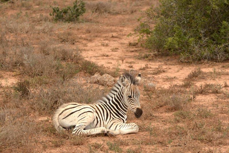 Fogli Zebra solitari in Sudafrica immagine stock
