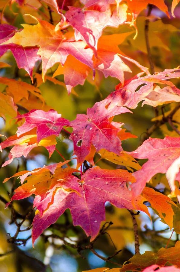 Foglia, albero di acero rosso immagini stock libere da diritti