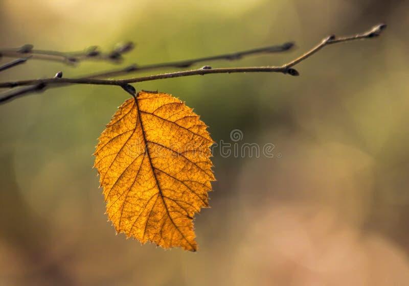 Foglia arancio sul ramo in autunno fotografie stock libere da diritti