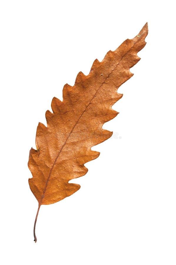 Foglia asciutta di botanica di autunno dall'albero isolato su fondo bianco immagini stock