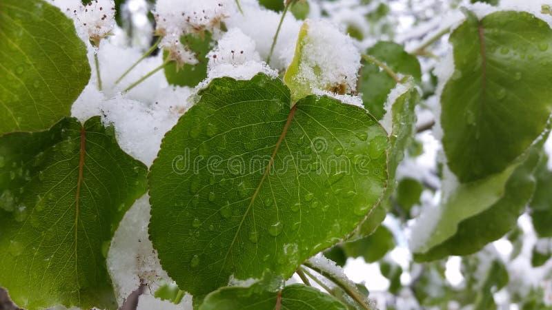 Foglia bagnata di Snowy fotografia stock libera da diritti