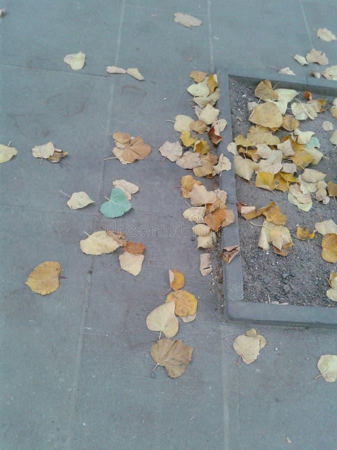 Foglia blu dell'albero in foglie gialle fotografie stock