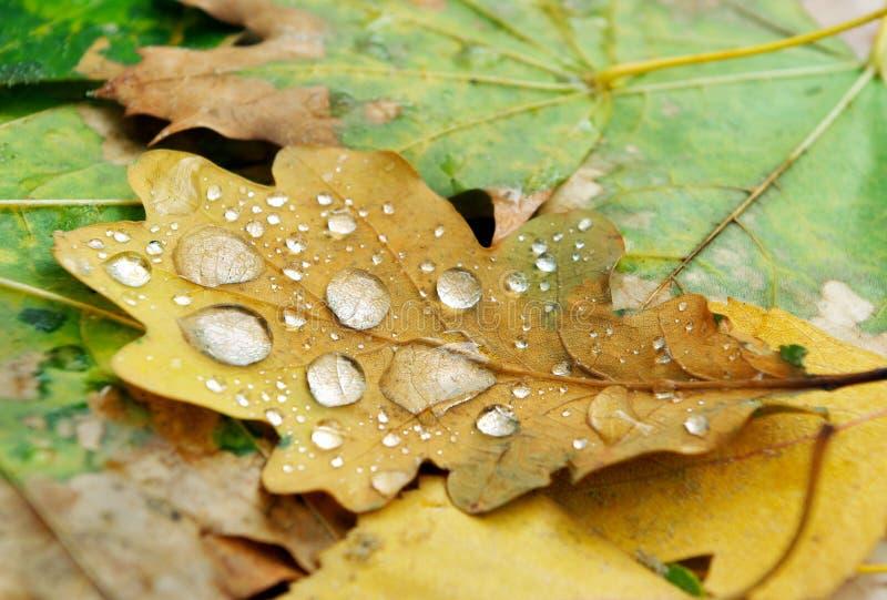 Foglia caduta della quercia nelle gocce di rugiada closeup fotografie stock libere da diritti