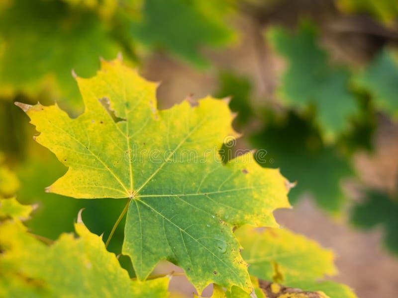 Foglia cambiante di colore di un acero riccio in autunno immagini stock