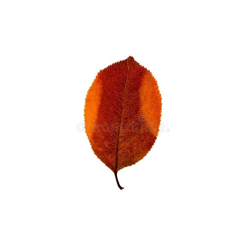 Foglia colourful di autunno isolata sui precedenti bianchi Prateria di caduta fotografia stock