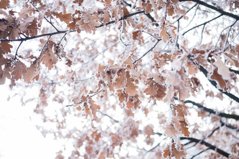 Foglia congelata dell'albero fotografie stock libere da diritti