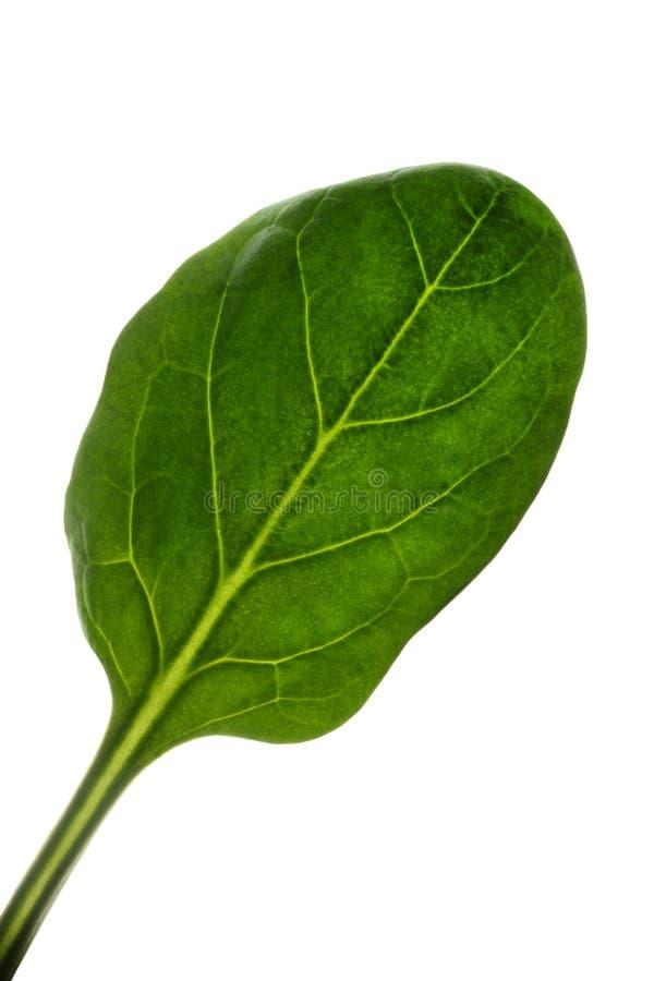 Foglia degli spinaci immagini stock libere da diritti