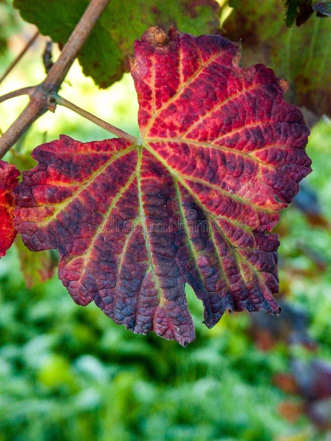 Foglia dei Di Modena, Italia di Lambrusco del mazzo dell'uva fotografia stock