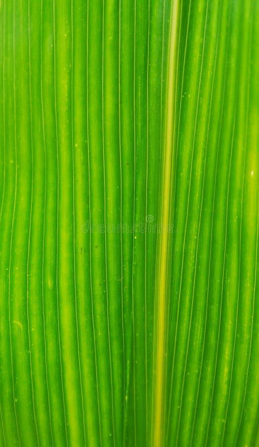Foglia del cereale fotografia stock