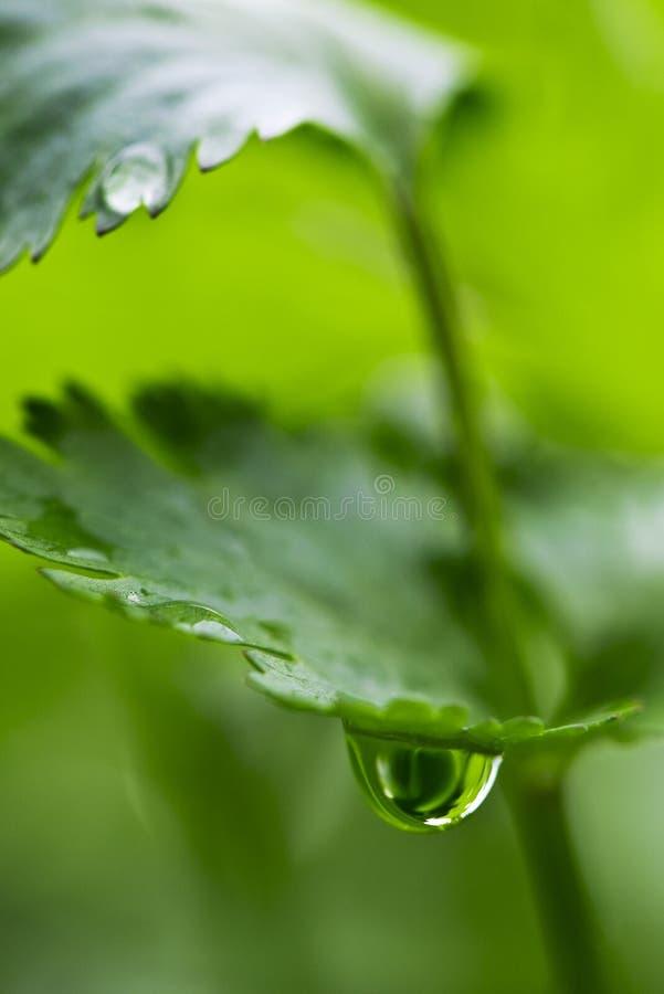 Foglia del coriandolo con goccia di acqua immagini stock libere da diritti