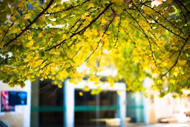 Foglia del ginkgo in autunno immagini stock