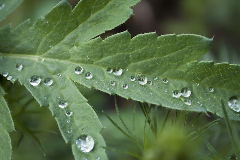 Foglia del papavero con le gocce di pioggia immagine stock libera da diritti