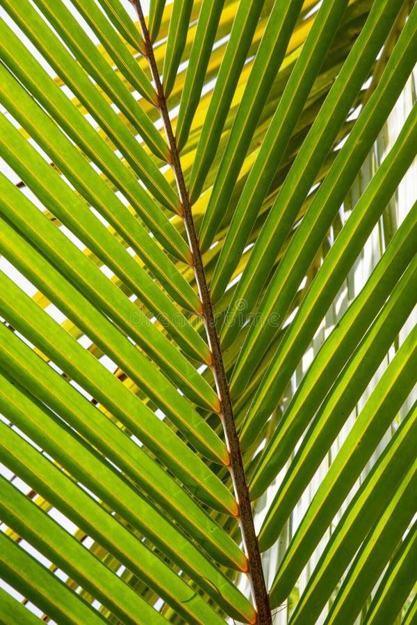Foglia del primo piano della palma fotografia stock libera da diritti