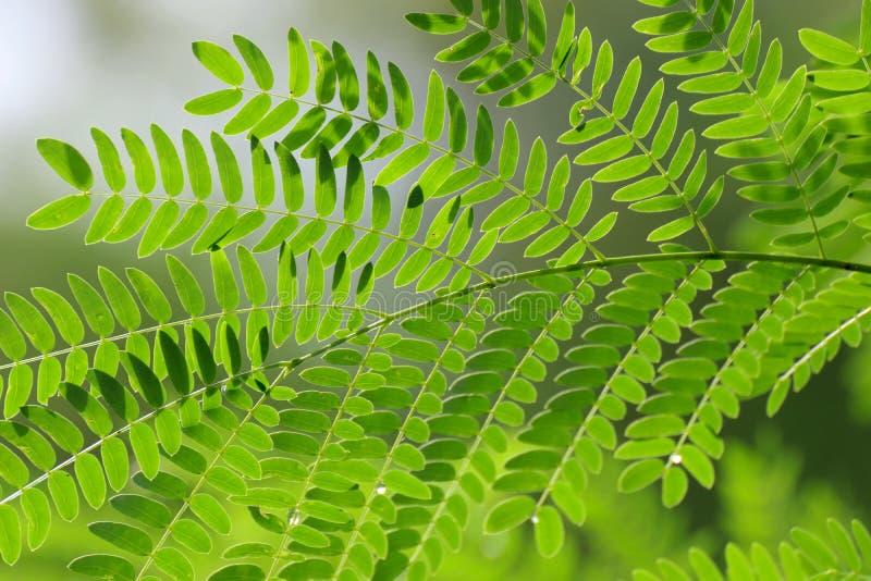Foglia dell'acacia, concinna Willd dell'acacia del baccello del sapone CC Foglie verdi, erba delle proprietà medicinali fotografie stock libere da diritti