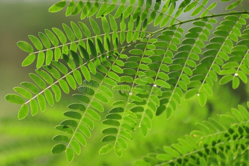 Foglia dell'acacia, concinna Willd dell'acacia del baccello del sapone CC Foglie verdi, erba delle proprietà medicinali fotografia stock