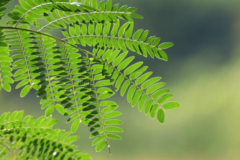 Foglia dell'acacia, concinna Willd dell'acacia del baccello del sapone CC Foglie verdi, erba delle proprietà medicinali fotografie stock