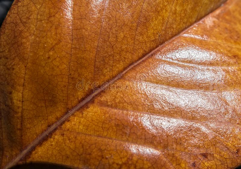 Foglia dell'albero della magnolia, aspetto coriaceo fotografia stock