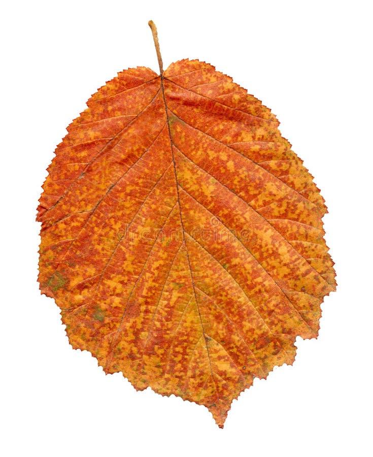 Foglia dell'ontano rosso di autunno isolata su bianco Bella foglia variopinta luminosa di autunno immagini stock libere da diritti