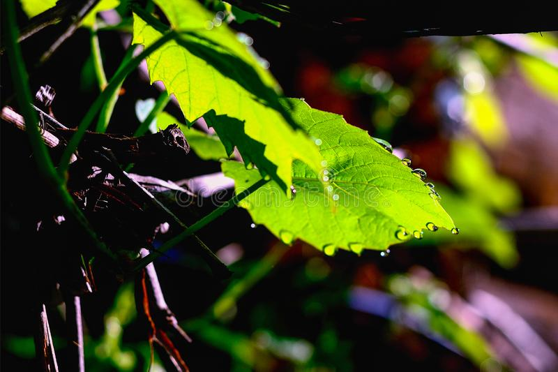 Foglia dell'uva con le gocce di rugiada fotografia stock