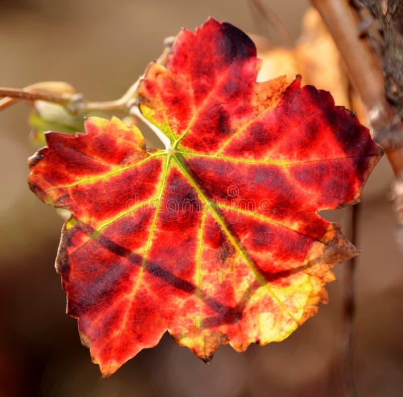 Foglia dell'uva del vino rosso immagine stock