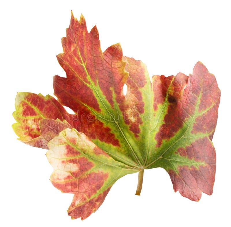 Foglia dell'uva rossa isolata sui precedenti bianchi immagini stock libere da diritti