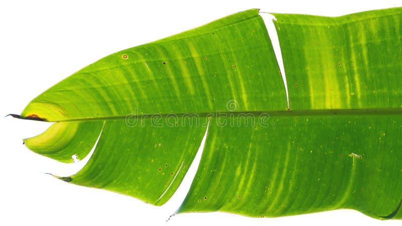 Foglia della banana dello sfondo naturale fotografie stock libere da diritti