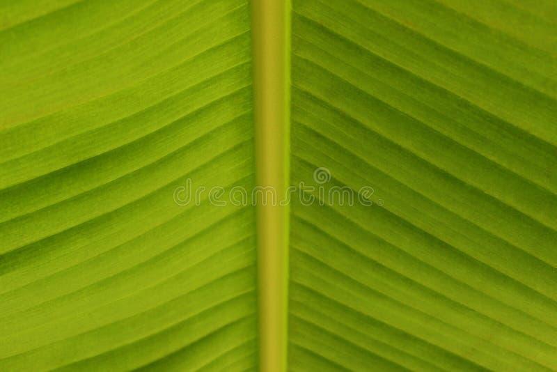 foglia della banana in giardino botanico immagine stock