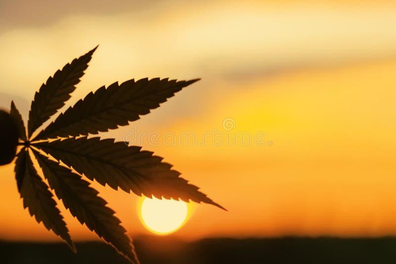Foglia della cannabis, immagine di sfondo Foto di tema delle piante e della marijuana della cannabis ad alba Prodotto premio CBD  fotografia stock libera da diritti