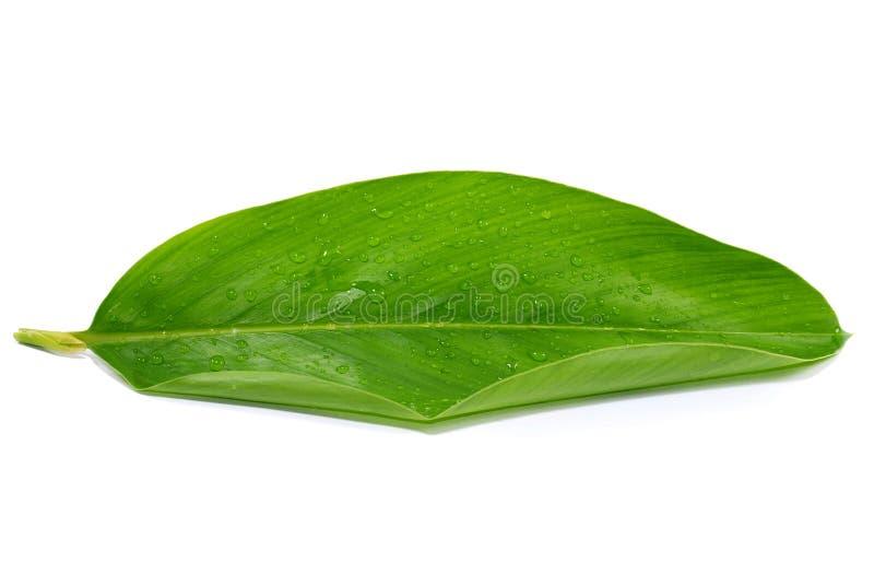 Foglia della curcuma con goccia di acqua isolata su bianco fotografie stock