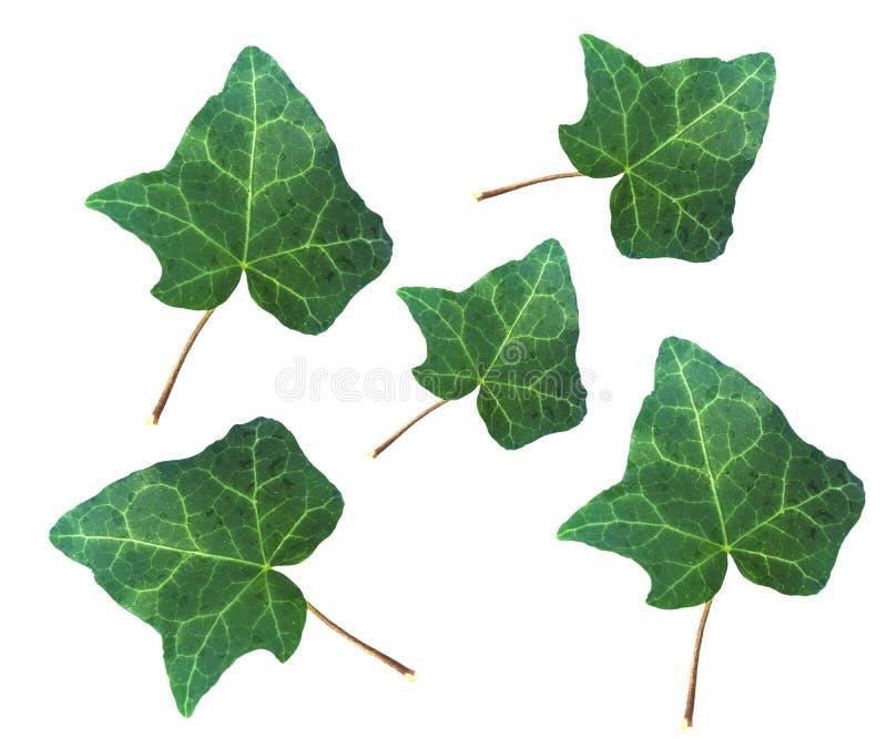 Foglia della pianta di Ivy Hedera isolata sopra bianco fotografie stock libere da diritti