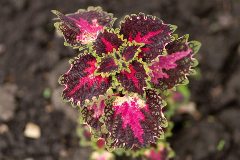 Foglia della pianta della natura di Borgogna nella fine sulla vista fotografia stock