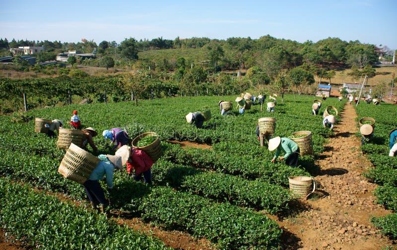 Foglia della scelta della raccoglitrice del tè sulla piantagione agricola immagini stock