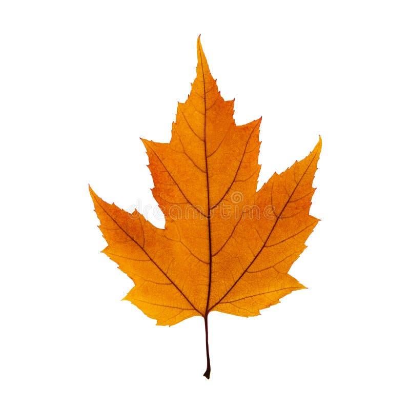 Foglia di acero arancio di autunno isolata sui precedenti bianchi fotografia stock libera da diritti