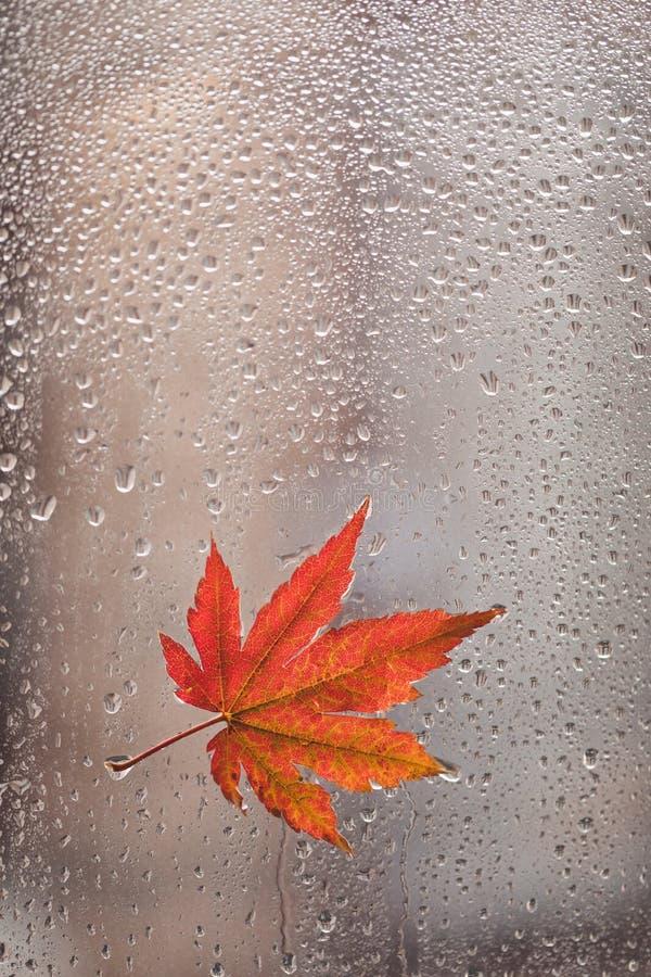 Foglia di acero arancio di autunno su vetro con le gocce di acqua naturali, fuoco selettivo immagine stock