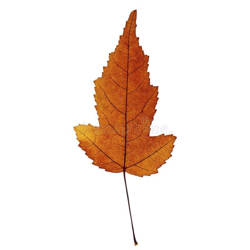 Foglia di acero arancione scuro di autunno isolata sui precedenti bianchi immagine stock libera da diritti