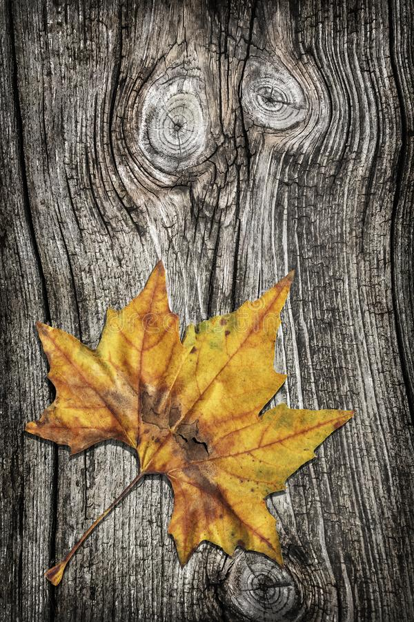Foglia di acero asciutta sul fondo vignetted rustico annodato di lerciume del pino fotografia stock