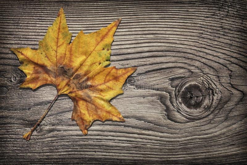 Foglia di acero asciutta sul fondo vignetted rustico annodato di lerciume del pino fotografie stock