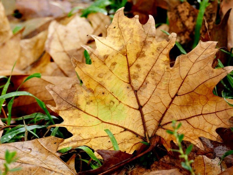 Foglia di acero in autunno su erba verde concetto dell'umore immagini stock