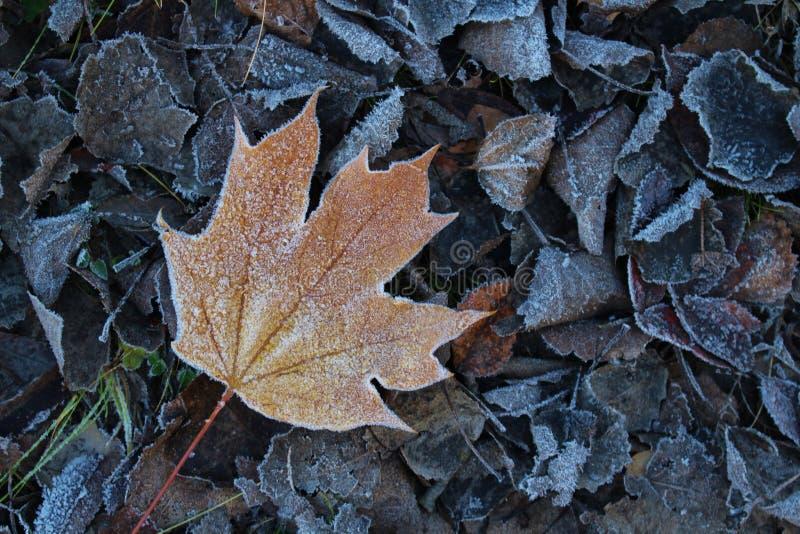 Foglia di acero gelida fotografie stock
