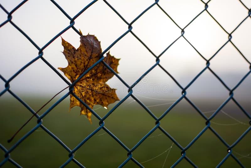 Foglia di acero gialla di autunno in recinto del collegamento a catena Può essere usato come fondo Spazio libero per testo immagini stock