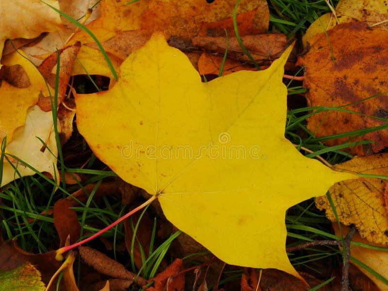 foglia di acero gialla sull'erba in autunno fotografia stock libera da diritti