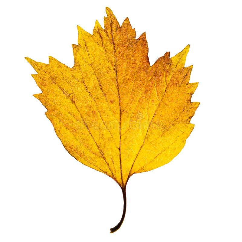 Foglia di acero giallo-chiaro di autunno isolata sui precedenti bianchi fotografie stock