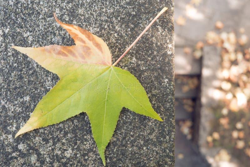 Foglia di acero giapponese che cambia il suo colore fotografia stock
