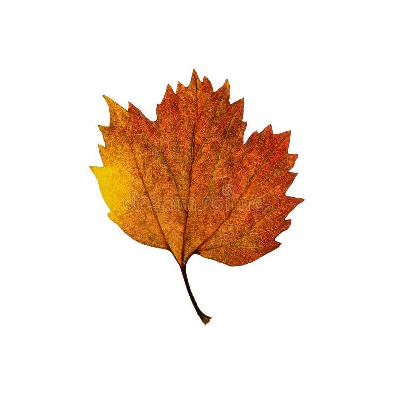 Foglia di acero marrone gialla di autunno isolata sui precedenti bianchi immagine stock