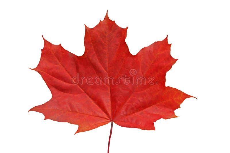 Foglia di acero rossa. fotografie stock libere da diritti