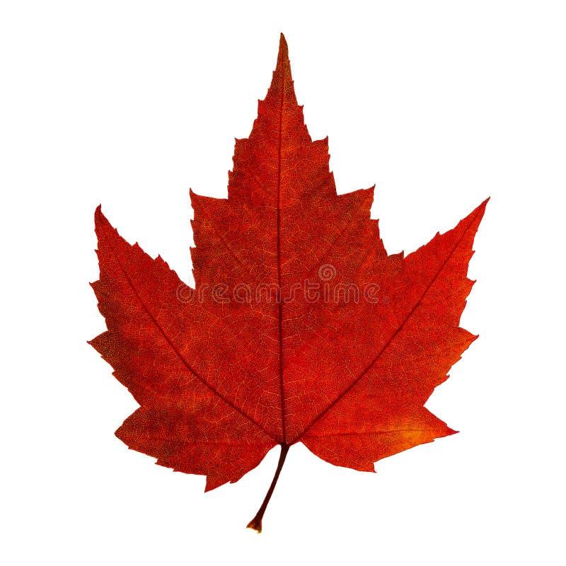 Foglia di acero rossa di autunno isolata sui precedenti bianchi fotografia stock