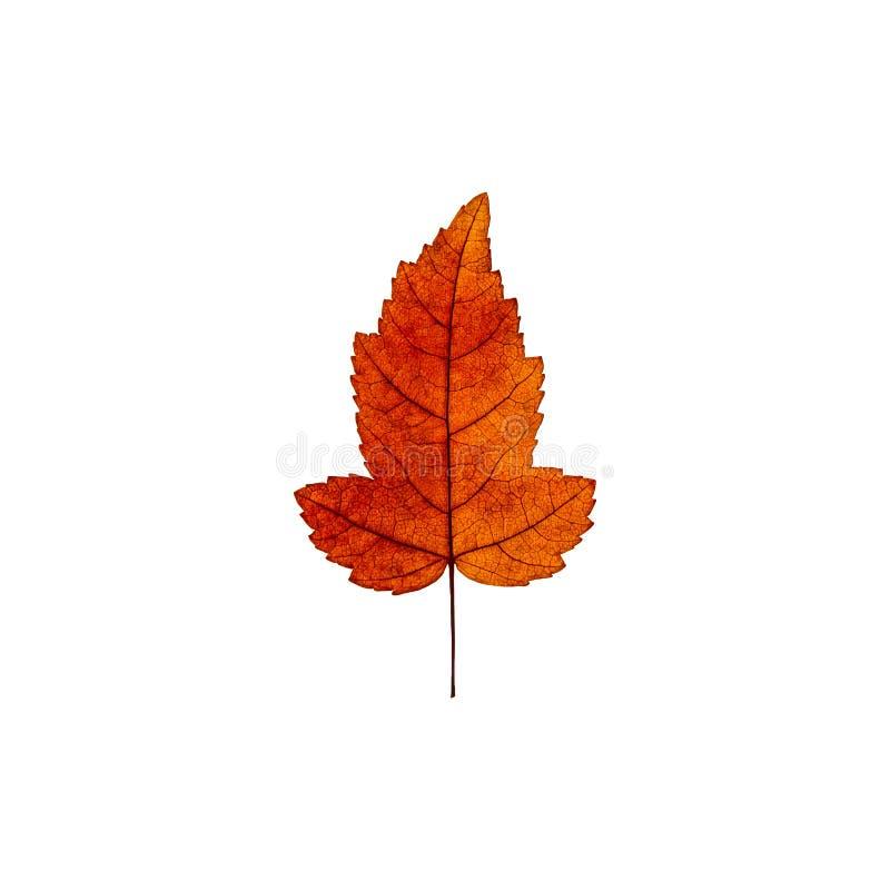 Foglia di acero rossa gialla di autunno isolata sui precedenti bianchi f fotografie stock