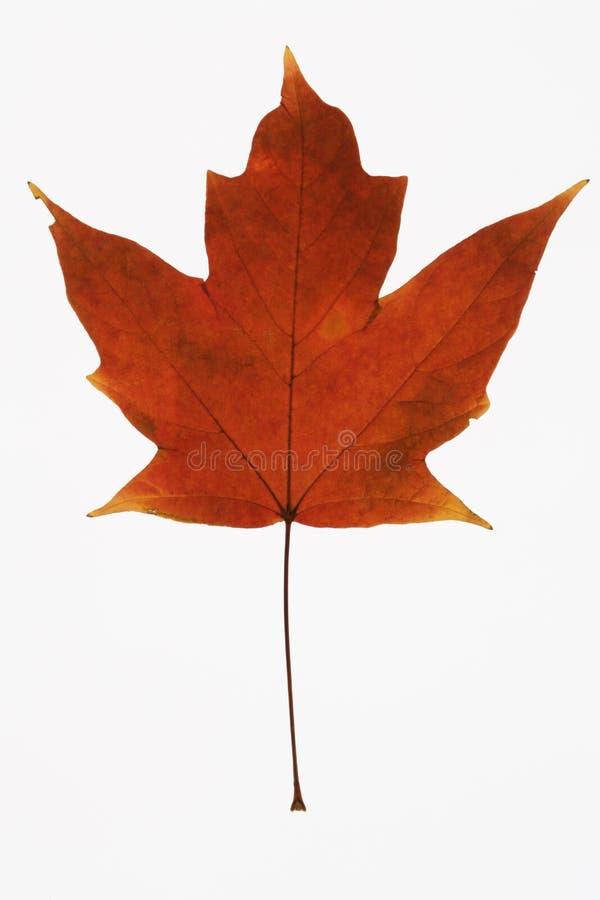 Foglia di acero rossa su bianco. fotografie stock libere da diritti