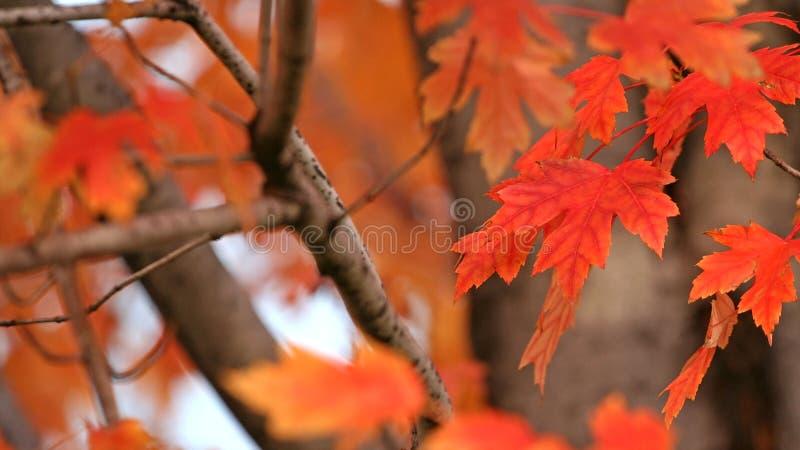Foglia di acero rossa sul ramo fotografia stock